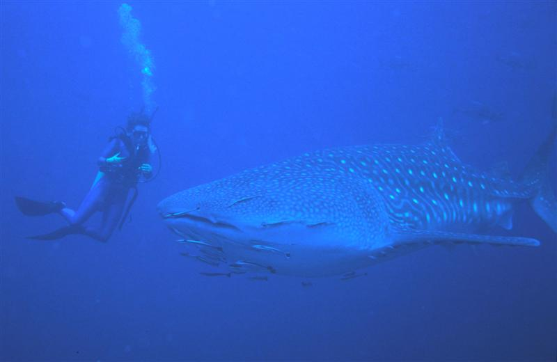 Whale Shark off Richelieu Rock, Andaman Islands.jpg